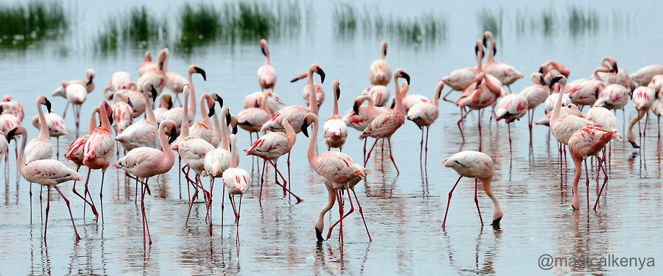 flamingos-kenya-africa-adventure.jpg